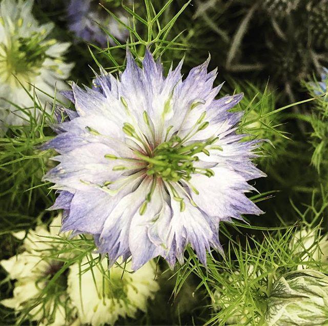 Love in a mist #nigella for this weeks wedding _#weddingflowers #floral #flowers #florist #loveinami