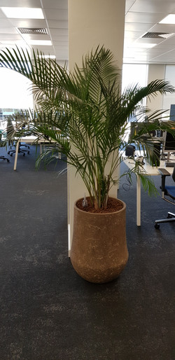 Palm in Ceramic Container