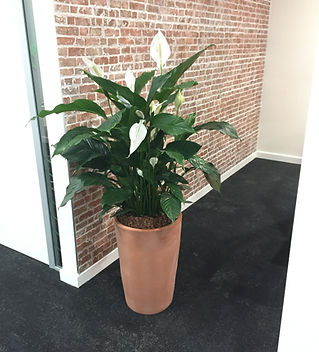 Peace Lily in Terracotta