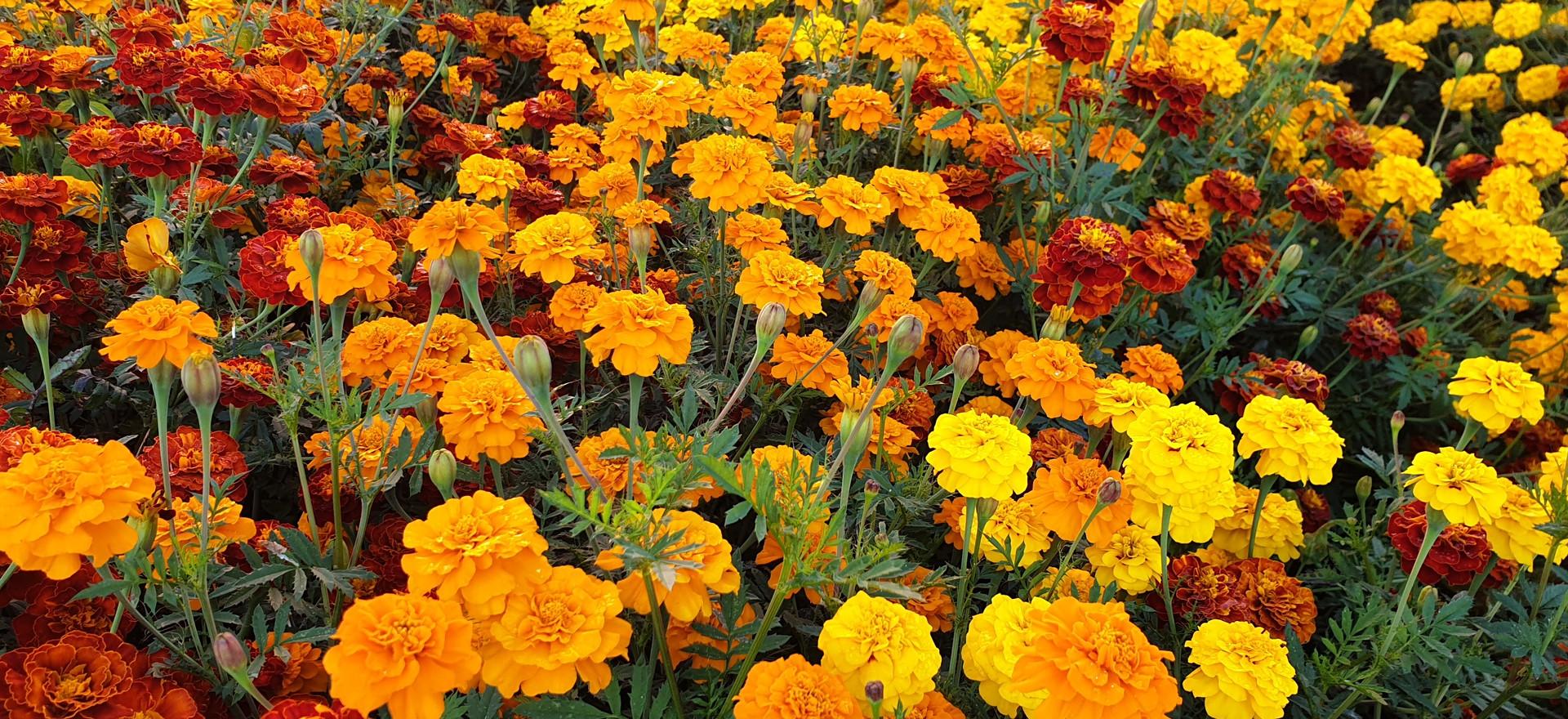 TEMPLE GARDEN FLOWERS