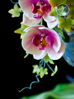 Sugar Purple Moth Orchid