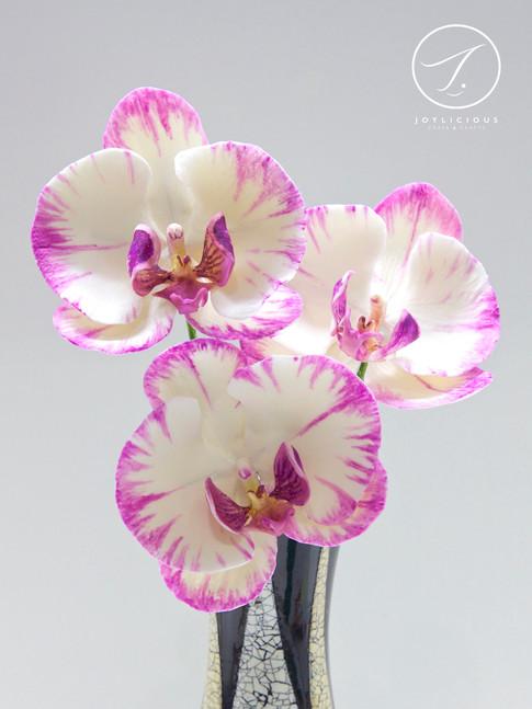 Sugar Moth Orchid