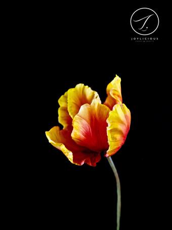 Sugar Orangy Yellow Tulip