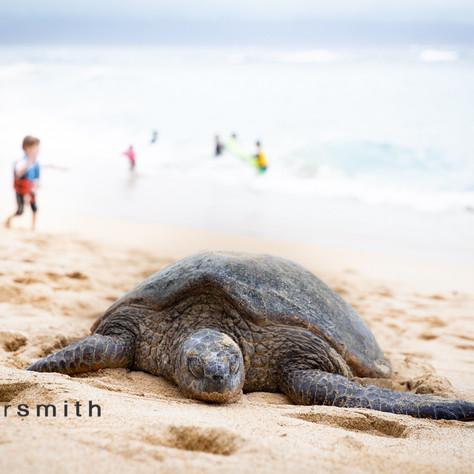 sleepy honu, Maui, 2020