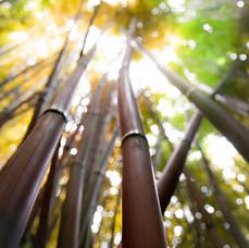 upward gaze bamboo, Hana, 2020