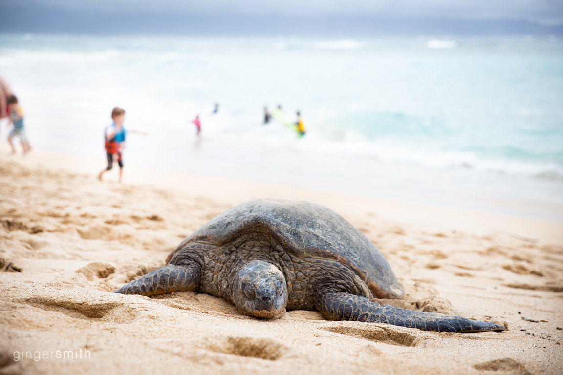 sleepy honu | maui