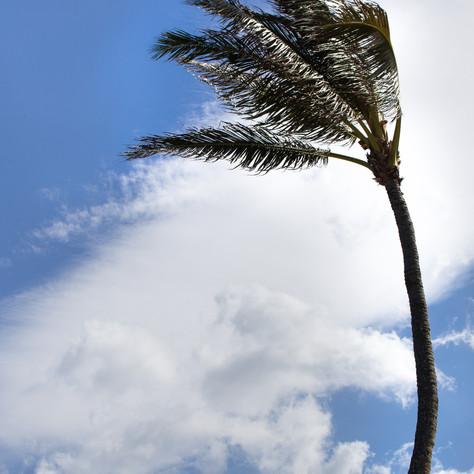 arcing palm, Kualoa, 2017