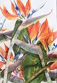 Birds of Paradise-38 x 56 cms-watercolou