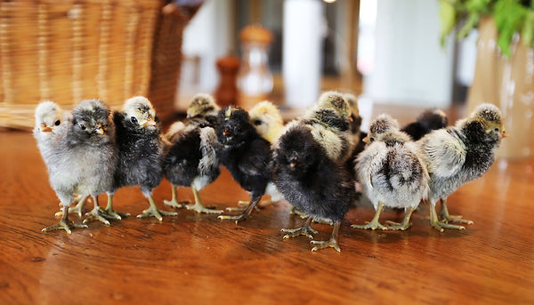 givendale polish chickens for sale yorkshire, polish hatching eggs for sale