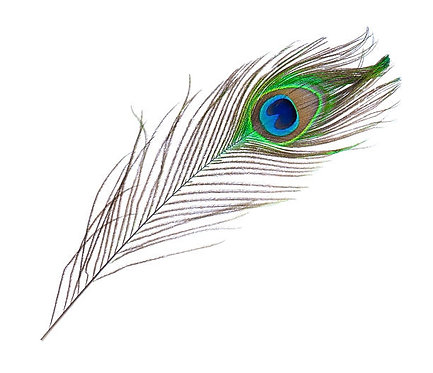 Peacock Feather - 18in to 22in