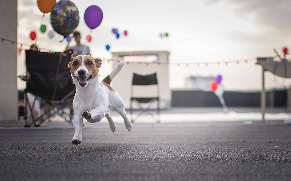 PAAWstival_Jack_Russell.jpg