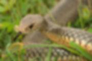 Pseudonaja textilis 004-Enhanced.jpg