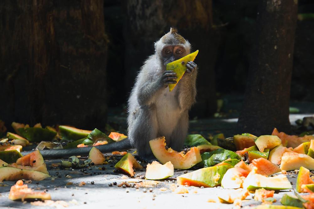 Monkey eating a fruit waste