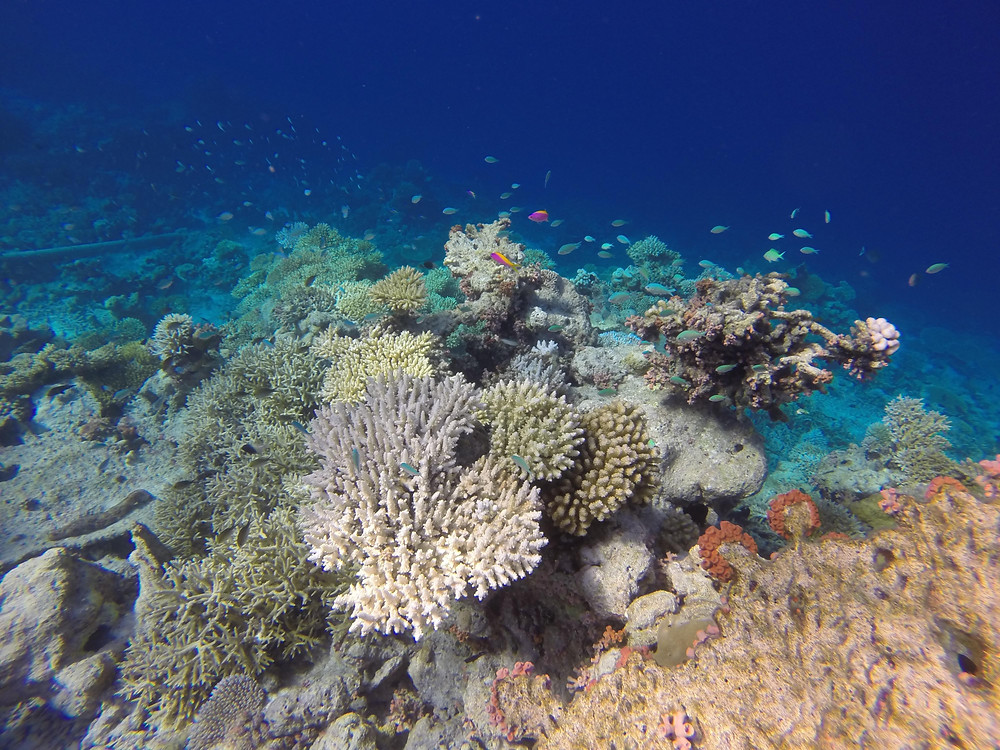 White coral affected by coral bleaching