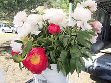 bucket of white and pink peonies