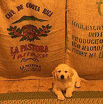 golden retriever puppy in front of canvas coffee bags