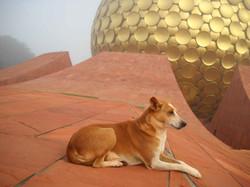 A Dog guarding Matrimandir