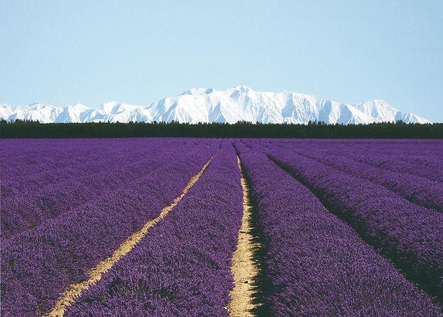 NZ Lavender Hero PERFECT Landscape_extd_5ml_edited.jpg