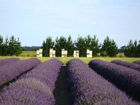 10 Interesting & Fun Lavender Facts