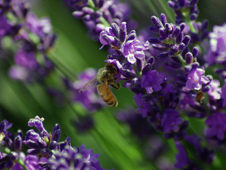 Lavender Essential Oil: Uses & Application
