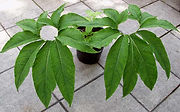 feuillage typhonium