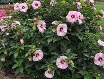 hibiscus cheesecake2.jpg