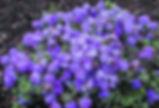 Rhododendron-impeditum-Azurika.jpg
