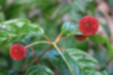 cephalanthus-occidentalis3.jpg
