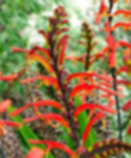 Chasmanthe floribunda4.jpg