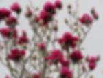 magnilia black tulip3.jpg