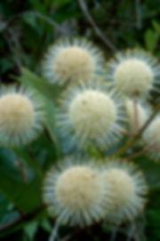 Cephalanthus2.jpg