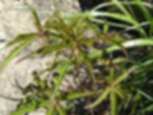 hibiscus coccineus 5.jpg