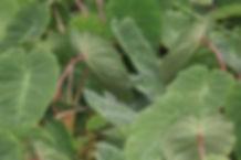 colocasia pink3.jpg