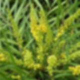 fleurs jaune de Mahonia soft caress