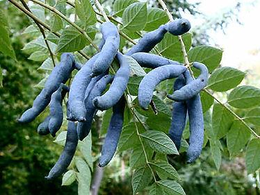 arbre aux haricots bleus2.jpg