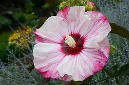 hibiscus cheesecake1.jpg