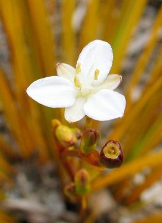 libertia ixioides1.jpg