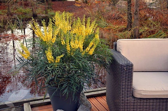 "Superbe Mahonia eurybracteata "" soft caress """