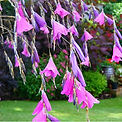 Dierama, canne a peche des anges