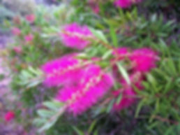 Callistemon Perth Pink