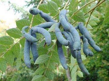 arbre au haricots bleus1.jpg
