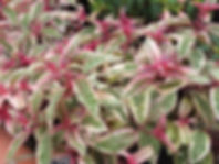 Fuchsia tom west