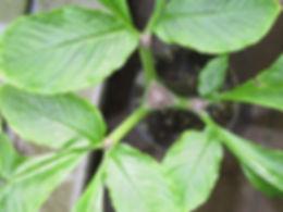 Amorphophallus_yuloensis_21.jpg