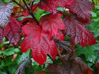 hydrangea ruby2.jpg