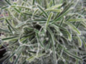 ficinia_truncata_ice_crystal1.jpg