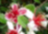 acca sellowiana (feijoa) goyavier du Brésil