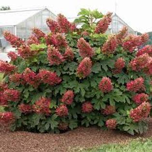 hydrangea ruby1.jpg