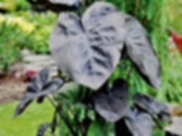 Colocasia Esculenta kona Coffee