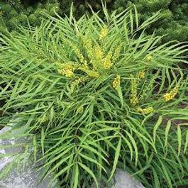 plante fine feulle, fleurs jaune, feuillage graphique,  plante asiatique, plante resistante froid, plante de balcon