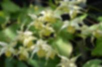Epimedium flower of sufur2.jpg